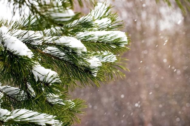 雪の中でトウヒの枝、クリスマスの背景