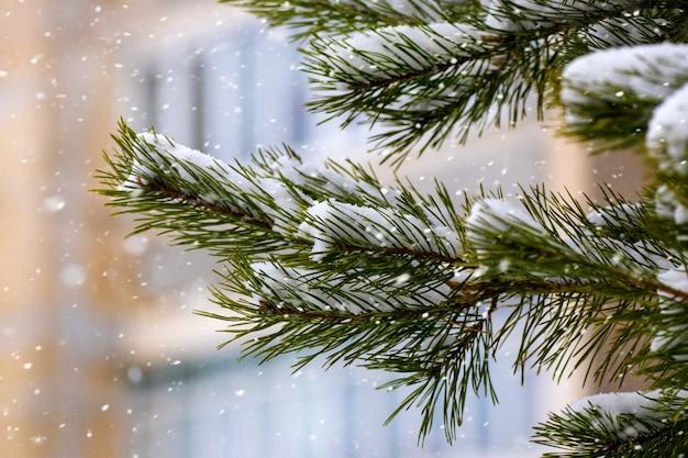 市の家の背景に雪の中でトウヒの枝