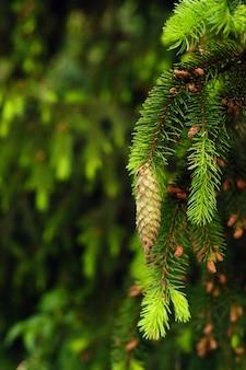 自然界の森のトウヒの木の枝にあるトウヒの円錐形。