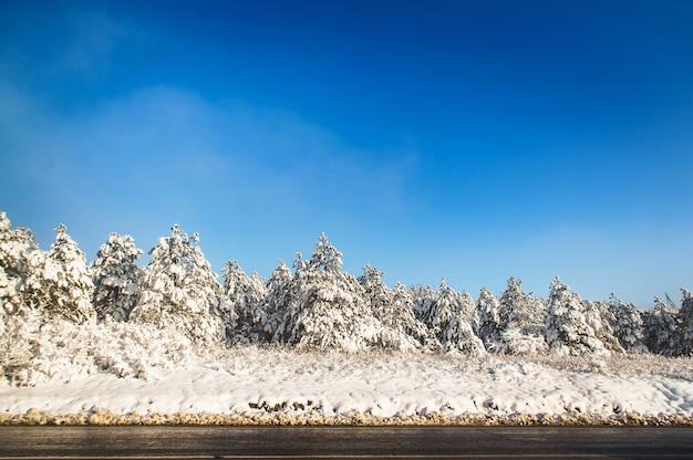 青い空を背景に晴天の冬の雪の中でトウヒの針葉樹林。道路の隣には木が生えています。