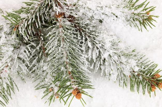 雪に覆われたトウヒ