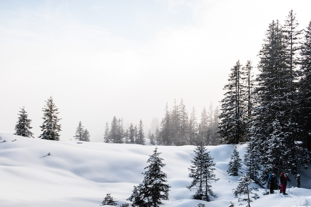 Spruce forest during winter covered with snow