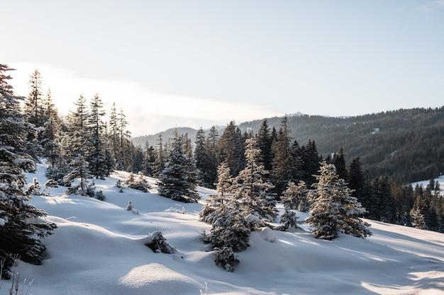 雪で覆われた冬のトウヒ林
