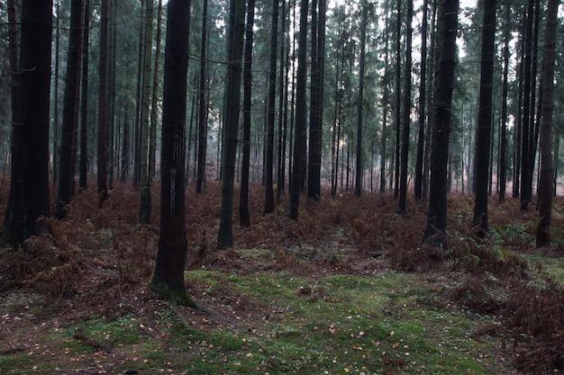落ちた針と枯れたシダのある秋のトウヒの森。