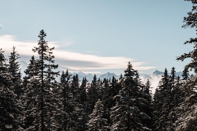 Еловый лес зимой засыпан снегом