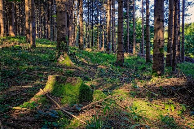 スプルースの森、スロベニア