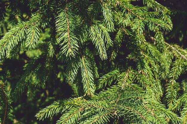 Еловые зеленые ветки, копия пространства