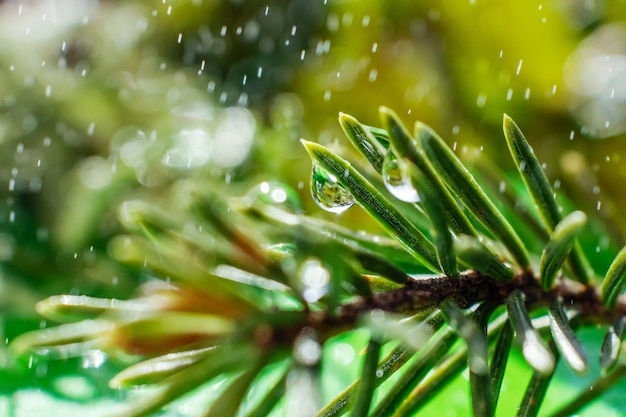 Spruce needles close-up with drops of water on it and small drops around