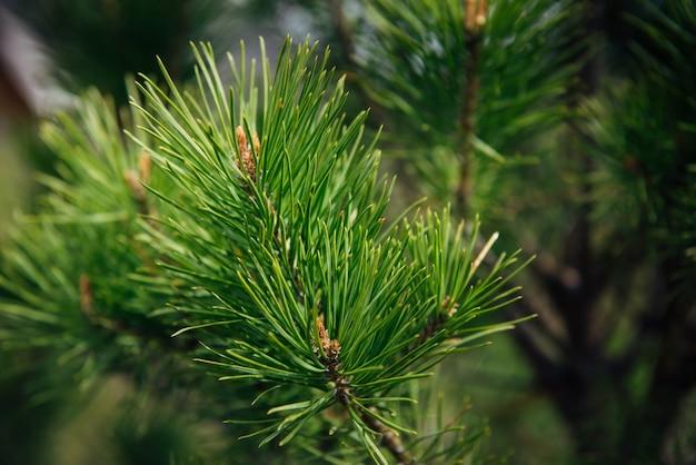 Ель или сосновая ветка, крупный план, размытый фон. зеленые иглы таежного дерева в солнечном свете.