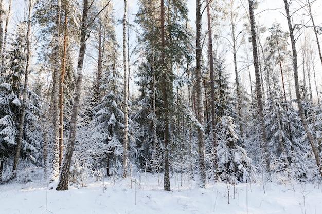 Ель, сосна, береза и другие деревья, растущие в смешанном лесу. фото крупным планом в зимний сезон после снегопада.