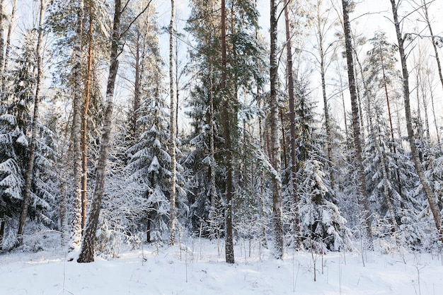 Spruce, pine and birch trees and other trees growing in a mixed forest. photo close-up in the winter season after a snowfall.