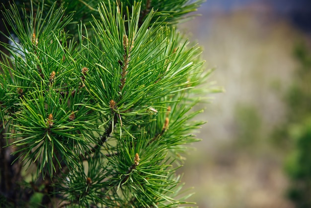 Spruce or pine branch, close-up, blurred background. green needles of a taiga tree in the sunlight.