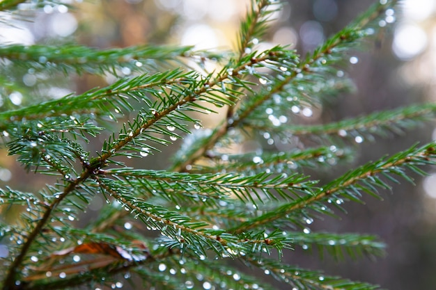 Ель после дождя. яркая вечнозеленая сосна зеленая хвоя разветвляется с каплями дождя. елка с росой, хвойным деревом, елью крупным планом, размытым фоном. осенний лес