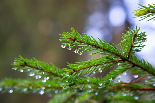 Ель после дождя. яркая вечнозеленая сосна зеленая хвоя разветвляется с каплями дождя.