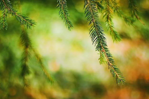 抽象的な自然の背景と自然環境の概念としてのトウヒの木の枝