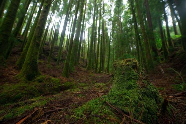 Еловый лес, солнечные лучи сквозь туман, освещающие лесную подстилку, покрытую мхом и папоротником, создают мистическую атмосферу