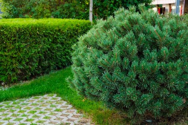 Ель, растущая на лужайке между декоративными камнями, ландшафтный дизайн