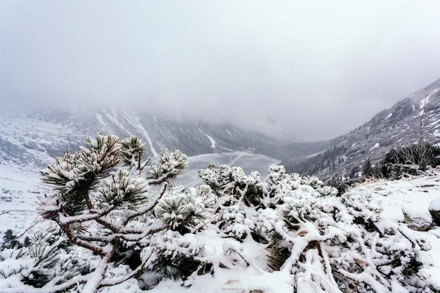 雪で覆われた山の丘の上のトウヒの木