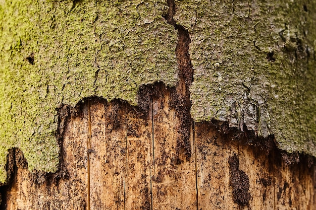 Spruce tree with exfoliating bark by bark beetle