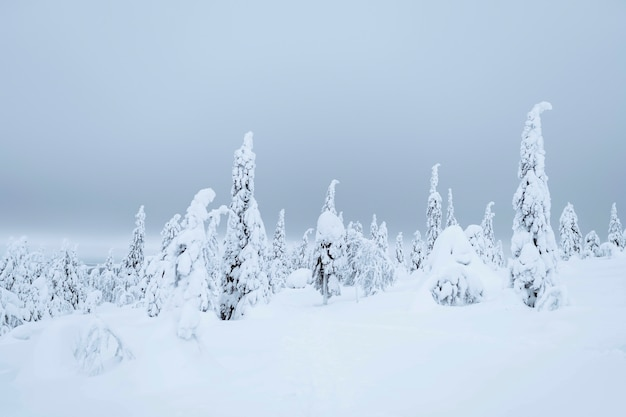 Spruce trees covered by snow in riisitunturi national park, finland