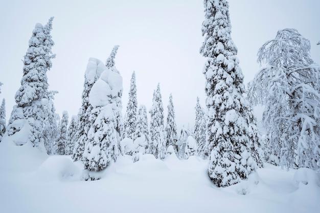 Abeti coperti di neve al parco nazionale di riisitunturi, finlandia