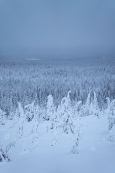 Spruce trees covered by snow at riisitunturi national park, finland
