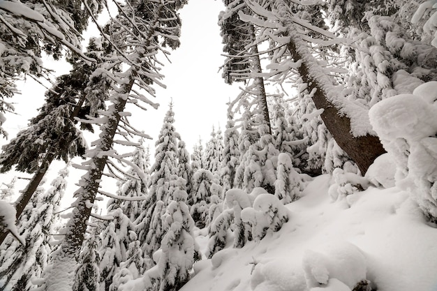 Spruce trees covered with deep snow