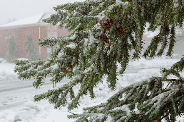 Spruce trees covered with snow focus on the branch. landscape.