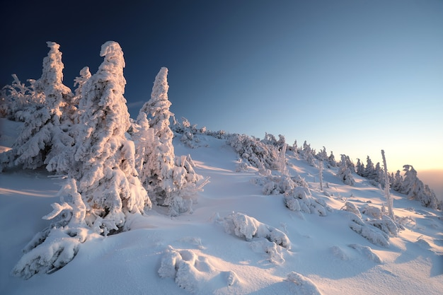 Spruce trees covered with snow on the mountain top at sunset