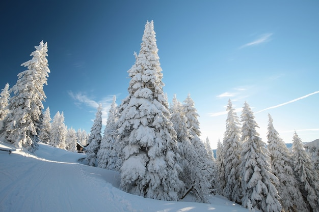 山の斜面に雪に覆われたトウヒ