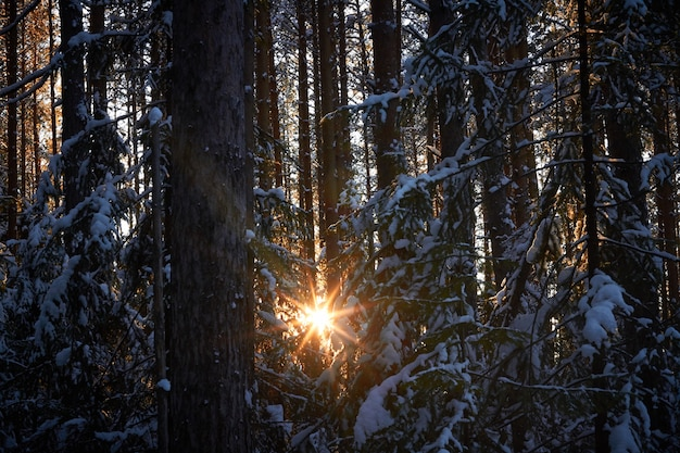 Spruce trees pine trees covered with snow with sun between them