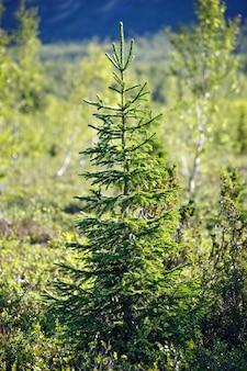 Spruce in the tundra, kola peninsula, russia
