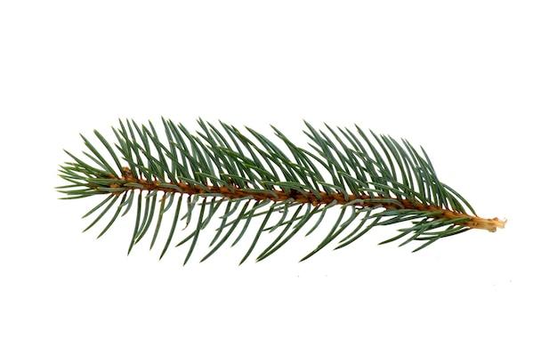 トウヒの小枝モミの木の枝が分離されました