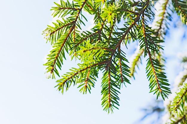 얼어 붙은 얼음 방울이있는 가문비 나무 가지. 낮은 겨울 태양 조명. 겨울 숲.