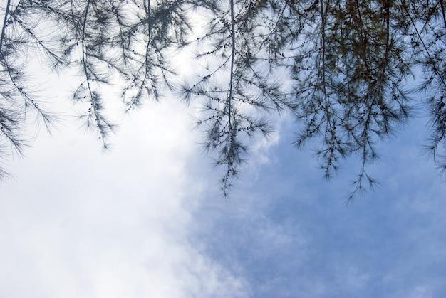 Spruce twigs with blue sky