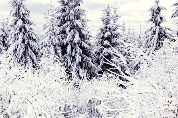 The spruces in winter