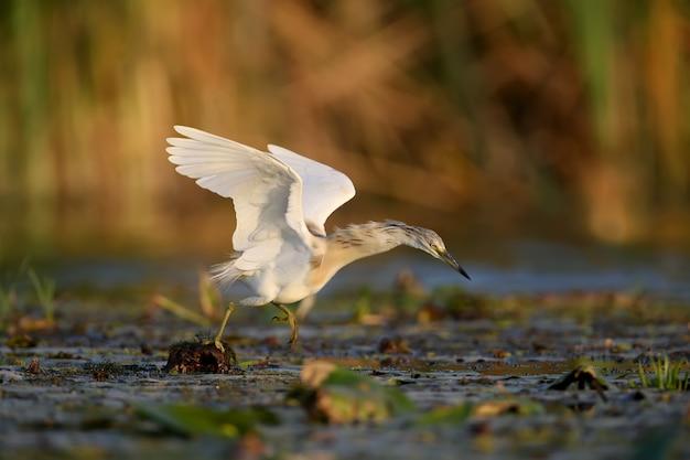 柔らかな朝の光の中で撮影された冬の羽のカンムリサギ(ardeola ralloides)。くちばしで捕まえた獲物、大きなドジョウを飼っています。珍しい角度とクローズアップ写真