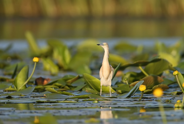 Squacco heron and flower in natural habitat with soft morning light.