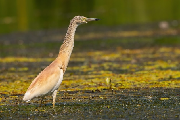 Squacco heron stretching its neck while standing in a shallow water of wetland