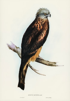 Square-tailed kite (milvus insures) illustrated by elizabeth gould