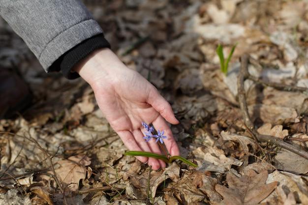 春の野外で森の中でリスします。スノードロップのクローズアップ。テキストのコピースペースを持つ女性の手で小さな青い野生の花のリス。上面図。自然と環境の概念を保存、春屋外