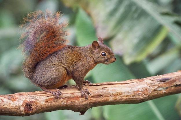 Белка осторожно гуляет по сухому дереву Premium Фотографии