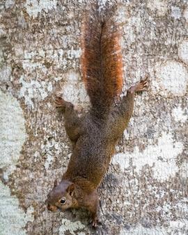 똑바로 보면서 나무 줄기 아래로 등반하는 다람쥐