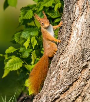 Squirrel climbing up a tree trunk