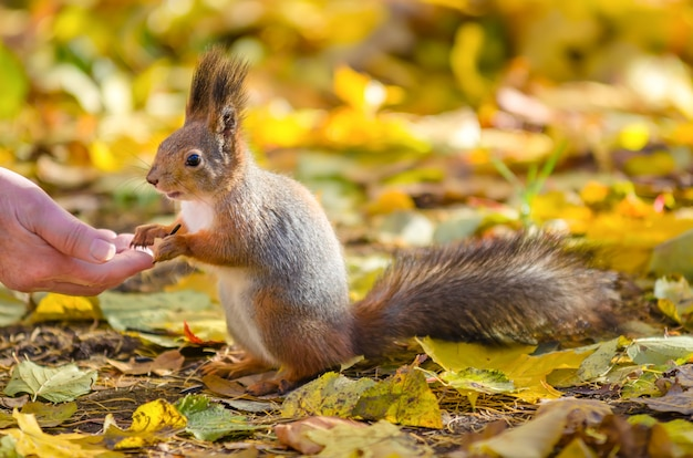 Squirrel communicates with man in the autumn park in st petersburg