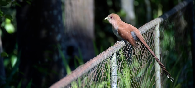 Squirrel cuckoo on the fence of the garden