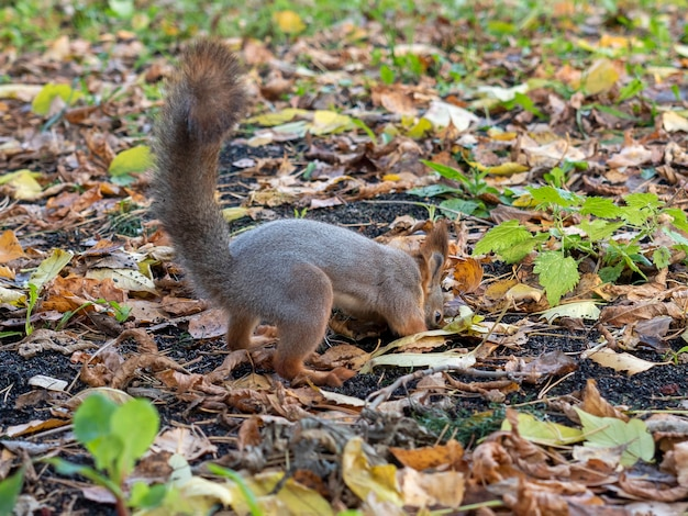 A squirrel digs through the autumn foliage in the park in the fall.