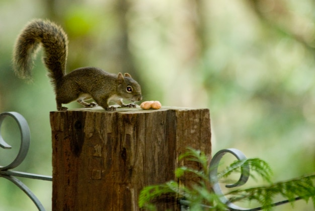 Squirrel eating almonds during the harsh winter