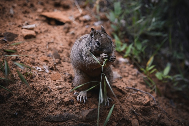 Squirrel eating grass on the dirt