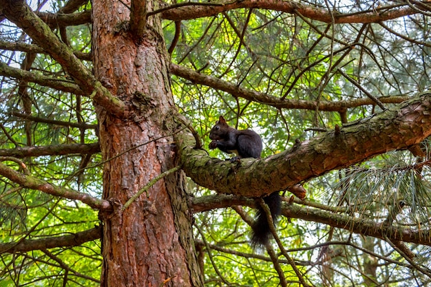 Squirrel eating nut on the tree. dark squirrel with a nut